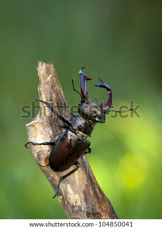 Stag beetle - Lucanus cervus - stock photo