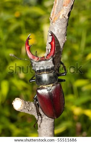 Stag beetle  ( Lucanus Cervus ) - stock photo