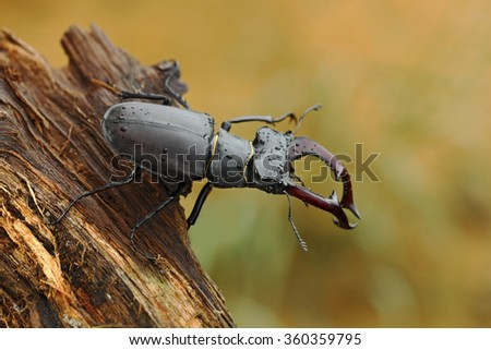 Stag beetle, Lucanus cervus, big insect in the nature habitat, old tree trunk, clear orange background, Czech Republic - stock photo