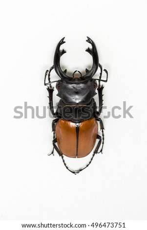 Stag Beetle (Odontolabis mouhoti ) Male on white background