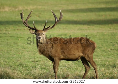 Stag Deer in English National Park