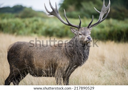Stag or Hart, the male red deer - stock photo
