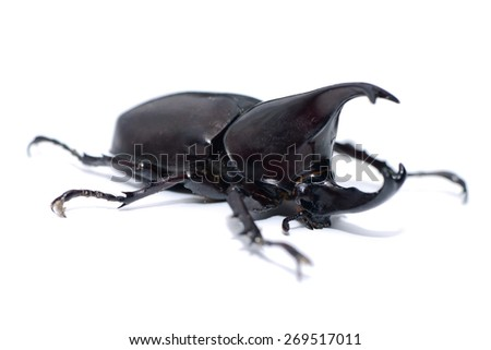 Stag or Rhinoceros beetle isolated on white background - stock photo