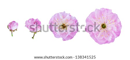 Stage of Flowering Almond (Prunus triloba) blossom. Flower isolated on white background. - stock photo