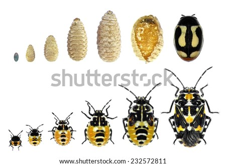 Stages development of flower beetle and plant bug isolated on a white background - stock photo
