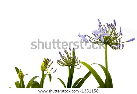 stages of growth agapanthus blooms with room for ad copy