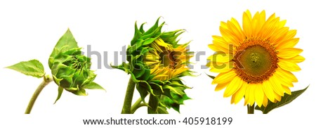 Stages of growth of a sunflower. Collection of sunflower isolated on white background
