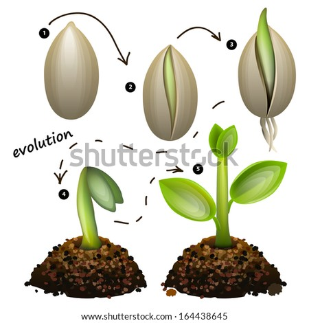 Stages of plant growth. Isolated on white background. Raster copy  - stock photo