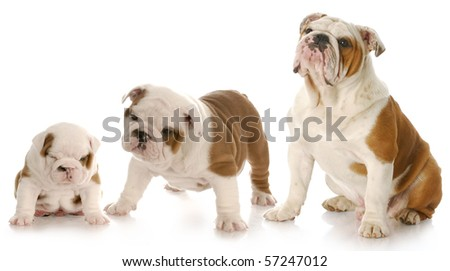 stages of puppy growth - english bulldog puppy stages - stock photo