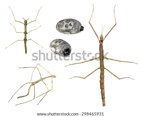 Stages of  Walking stick insect development  - Asian walking stick (Phasmina insect)  - imago, nympha ,exuviae, eggs isolated on a white background. Macro - stock photo