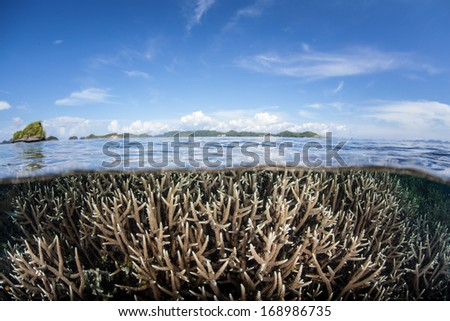 Staghorn corals (Acropora sp.) grow on a shallow reef flat in Raja Ampat, Indonesia. This region is known for as the heart of the Coral Triangle and its very high marine biodiversity. - stock photo