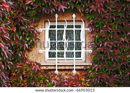 Stained-glass window in a wall perfectly covered by colorful Boston ivy leaves - stock photo