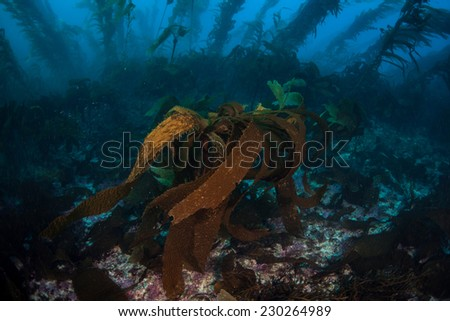 Stalked kelp grows along with giant kelp in a thick underwater forest near the Channel Islands in California. Kelp provides an important habitat for many fish and invertebrates. - stock photo