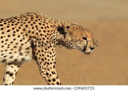 Stalking cheetah (Acinonyx jubatus), Kalahari desert, South Africa  - stock photo