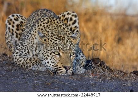 Stalking leopard - stock photo