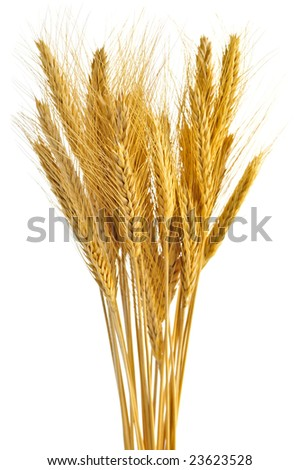 Stalks of golden wheat grain isolated on white background - stock photo
