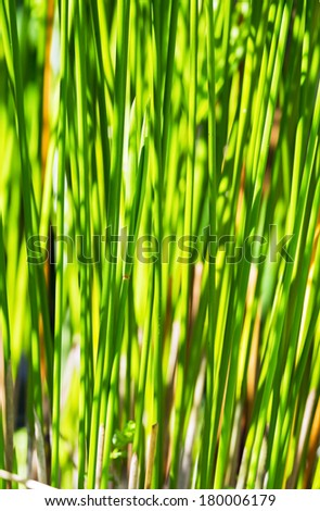 Stalks of papyrus green plant stand in line with sunlight background - stock photo