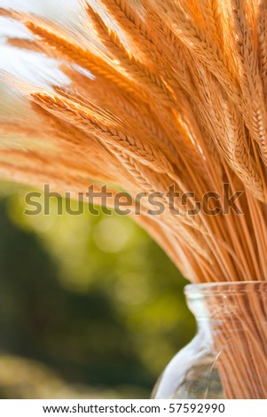 Stalks of wheat arranged in a glass vase on a sunny day - stock photo