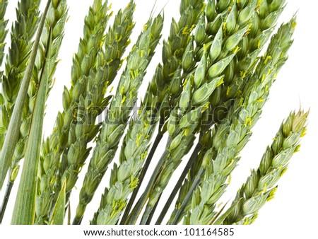 stalks of wheat grains on white background - stock photo