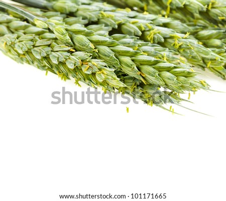 stalks of young green wheat grains on white background - stock photo
