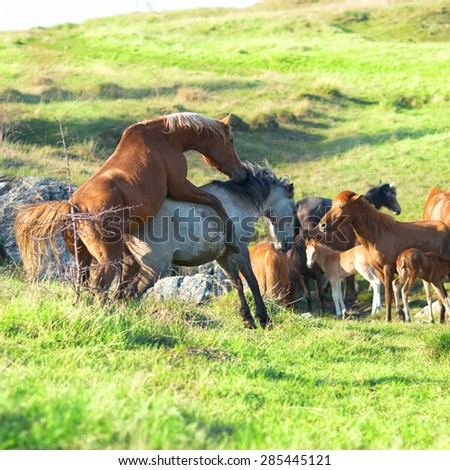 Stallion and mare mate on the field with green grass. Herd of horses - stock photo