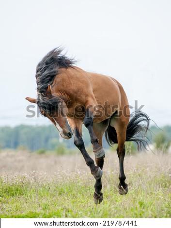 Stallion playing - stock photo