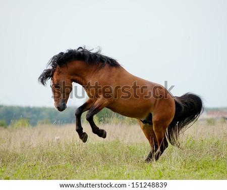 stallion plays in field - stock photo