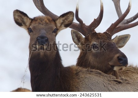 """Stand Beside Me / Stand Behind Me Male and Female Rocky Mountain Elk, Cervus canadensis, close up portrait with selective focus on the female (the male is tastefully out of focus, a.k.a. """"soft focus"""") - stock photo"""