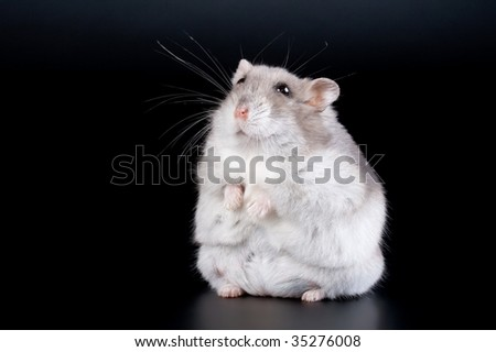 Stand female Jungar hamster on the black. No isolated - stock photo
