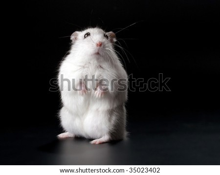 Stand male Jungar hamster on the black. No isolated