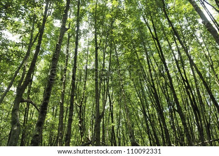 stand of mangrove trees - stock photo