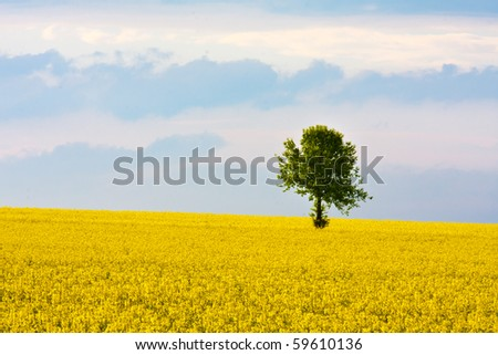 Standalone tree in a yellow field