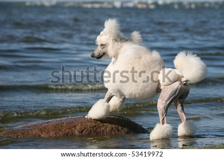 Standard Poodle on the Beach - stock photo