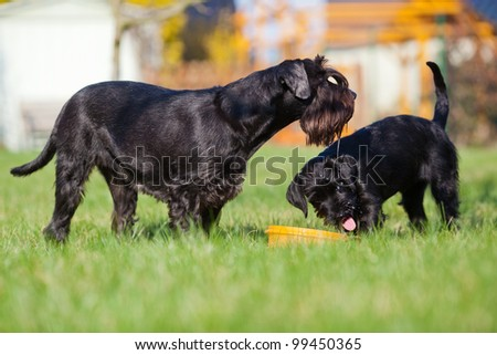 standard schnauzer mother and child in the garden - stock photo