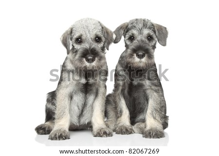 Standard schnauzer puppies on white background