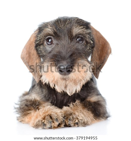 Standard wire-haired dachshund puppy lying in front view. isolated on white background - stock photo