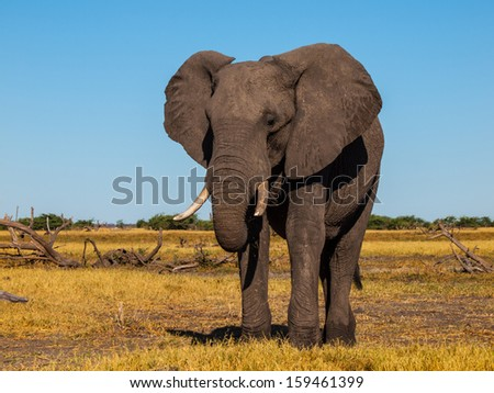 Standing african elephant in sunny day