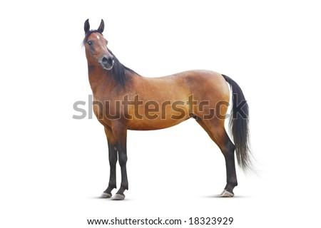 standing bay arabian horse isolated - stock photo