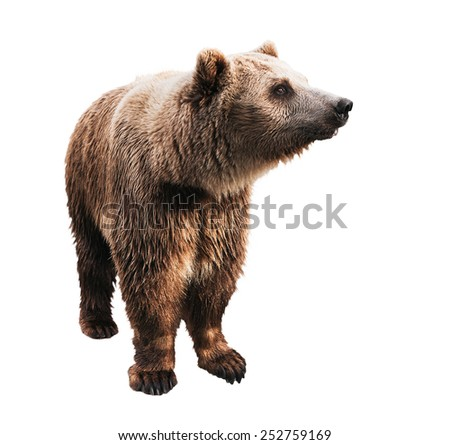 standing big brown bear in sunlight isolated on white