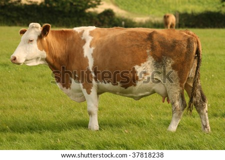 standing cow - stock photo