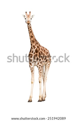 Standing giraffe isolated on white