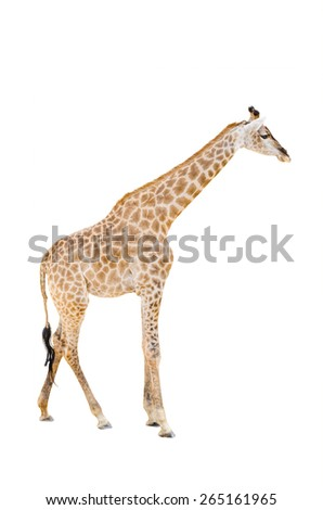 Standing Giraffe isolated over white background - stock photo