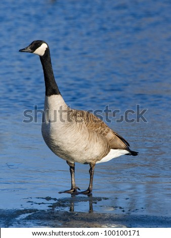Standing Goose - stock photo