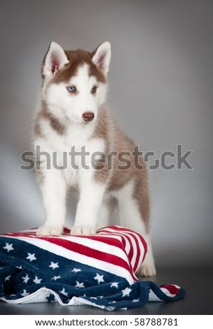 Standing Husky puppy - stock photo