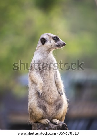 Standing Meerkat looking at right side in blur blackground