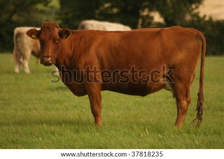 standing ore cow - stock photo