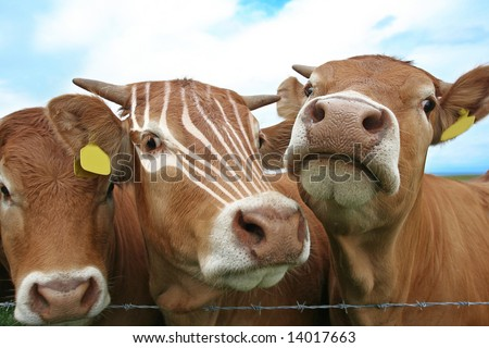 Standing out from the Crowd concept with Zebra markings on central beast. Ear Tags cleared for your own text if needed - stock photo