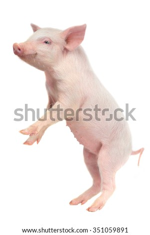 standing pig on a white background. studio - stock photo
