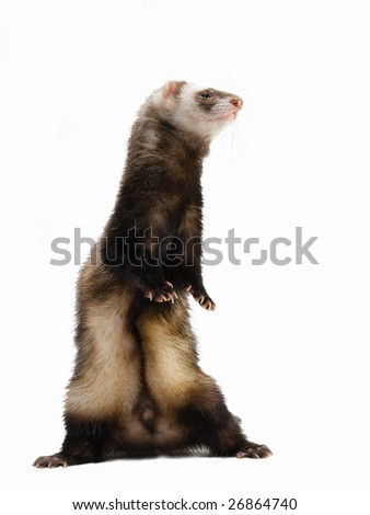 Standing polecat. An isolated object on a white background.
