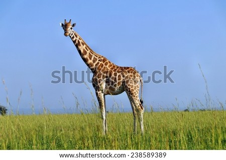 Standing Rothschild's giraffe at Murchison Falls National Park in Uganda - stock photo